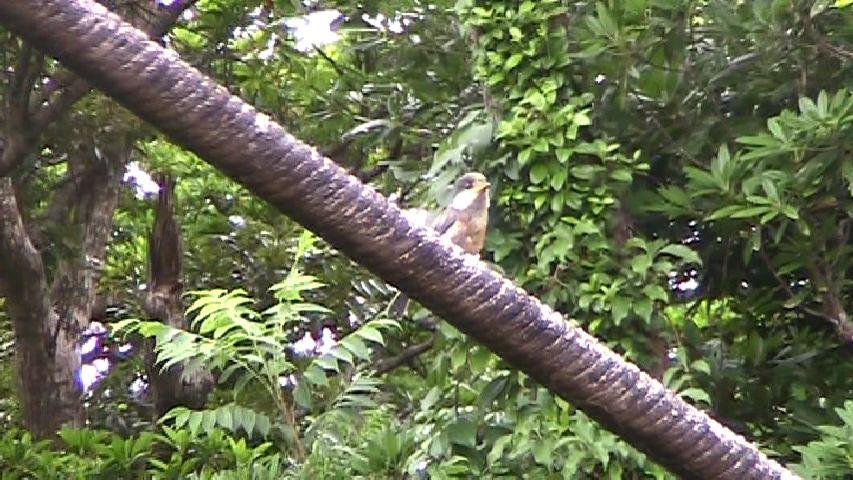 アマミヤマガラの幼鳥