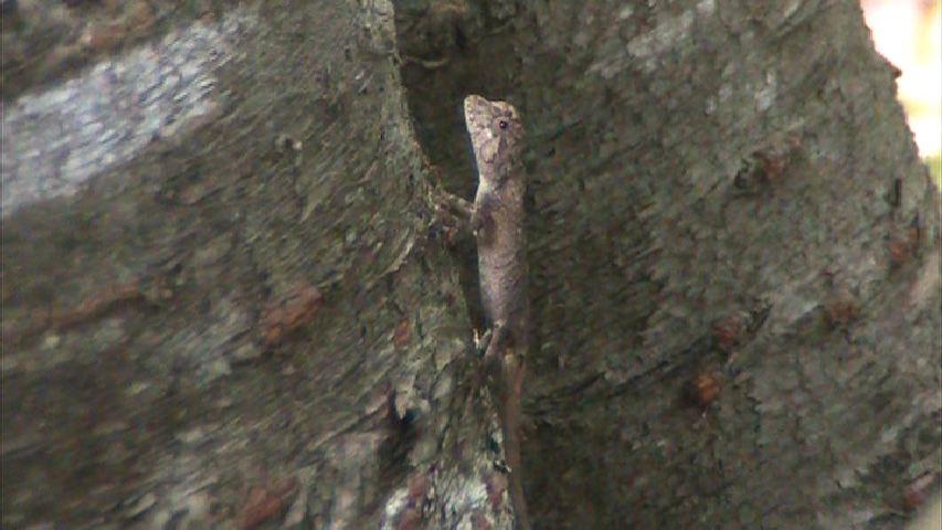 オキナワキノボリトカゲ(幼体)