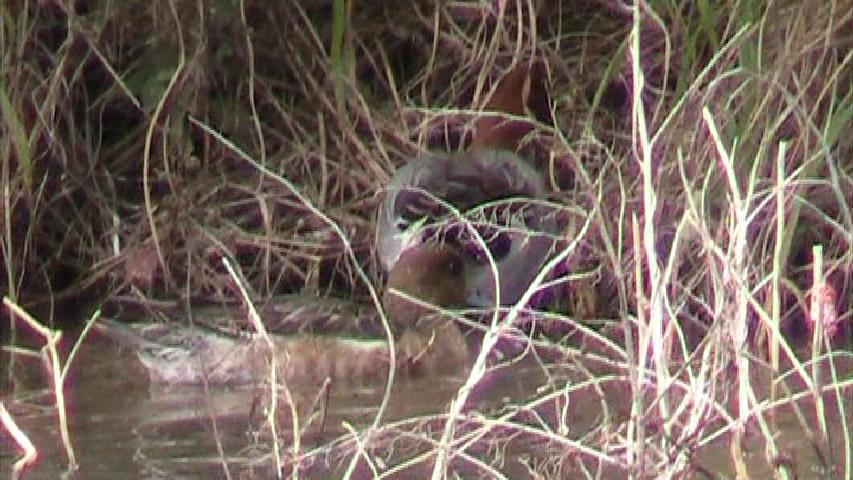 越冬中のヒドリガモ