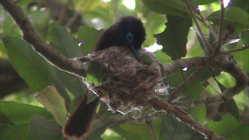 リュウキュウサンコウチョウの営巣発見