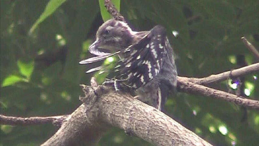 アマミコゲラの羽繕い