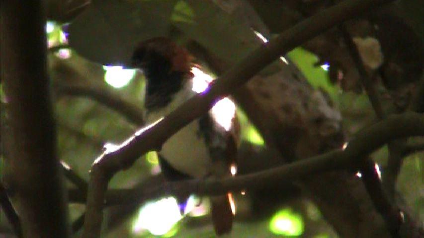 アカヒゲ(成鳥・雄)の羽繕い