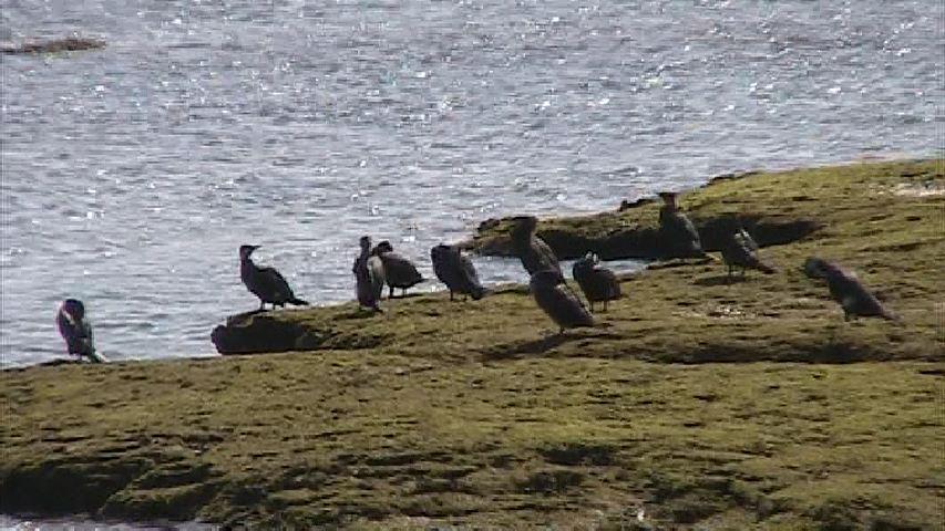 カワウたちの集団漁