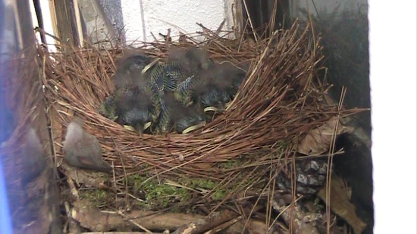 イソヒヨドリの巣