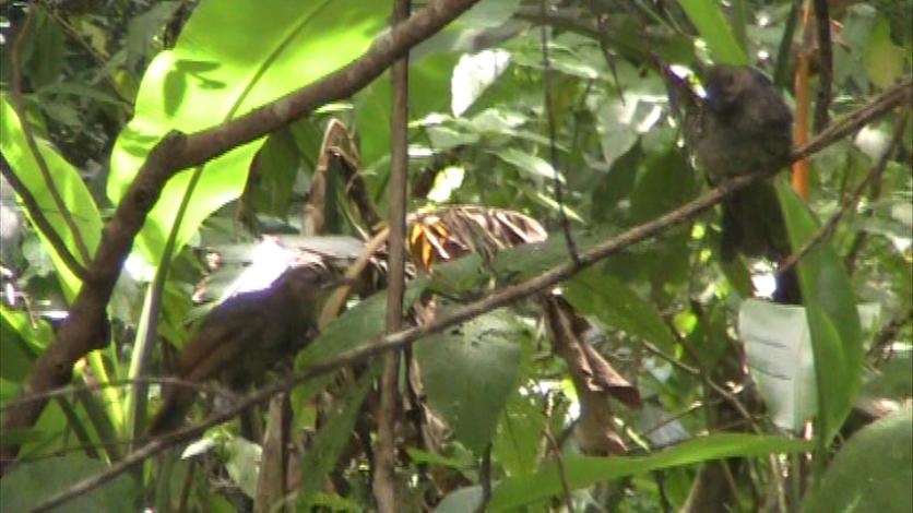 アマミヒヨドリの幼鳥