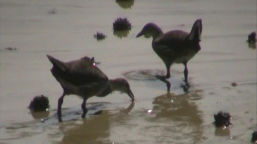 バンの幼鳥たち