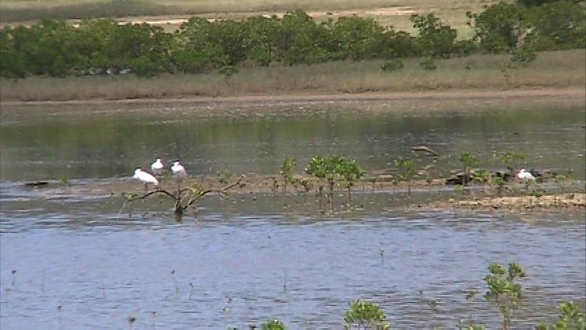 浅間干潟のクロツラヘラサギたち