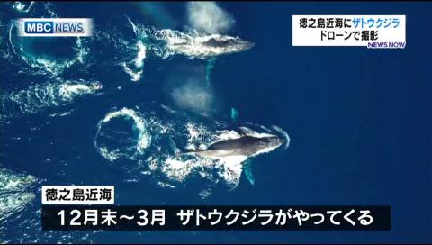 徳之島近海にザトウクジラ ドローンで撮影
