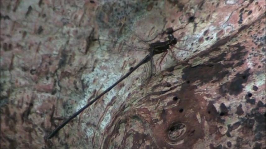 トクノシマトゲオトンボ(雄)
