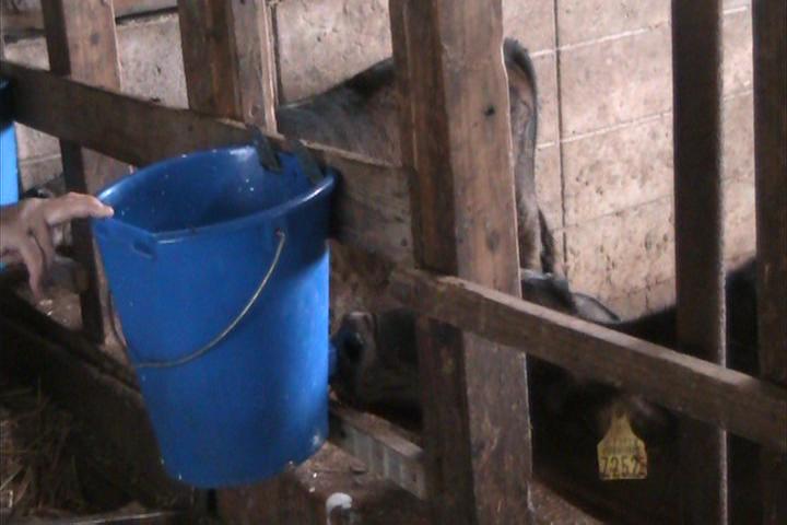 子牛の人工哺乳