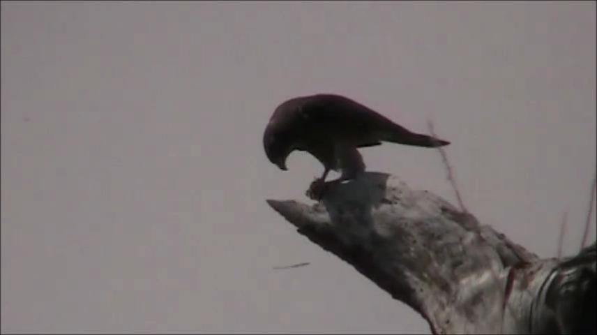 サシバの採餌