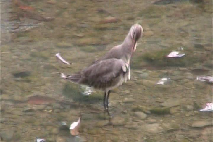 オオソリハシシギの羽繕い