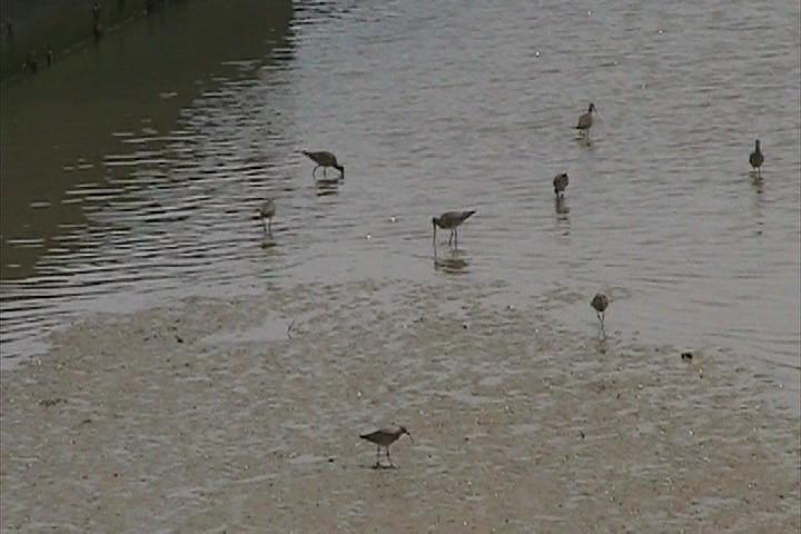 チュウシャクシギの群れ