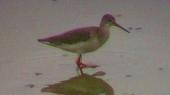 アカアシシギ(幼鳥)