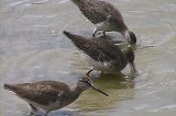アカアシシギの幼鳥たち