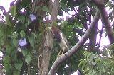 アカガシラサギ(成鳥 夏羽)