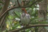 アカヒゲ(雌)の羽繕い