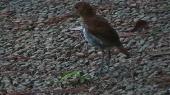 アカヒゲ幼鳥