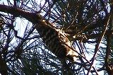 亜種アマミコゲラ