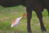 アマサギと牛の共生