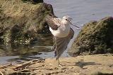 アオアシシギの羽繕い