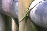 アオカナヘビ(雌)
