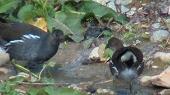 バンの若鳥