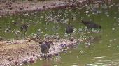 バンの若鳥たち