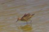 エリマキシギ(幼鳥)