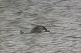 ハジロカイツブリの潜水漁