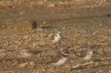 ハジロコチドリとトウネンの群れ