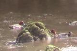 ヒドリガモの雄たち