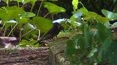 亜種アマミヒヨドリ