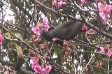 ヒヨドリが桜の蜜を