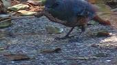 イソヒヨドリの狩り