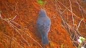 イソヒヨドリがウマオイをゲット