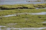 亀津海岸にカルガモが