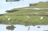 亀津海岸にまたクロツラヘラサギ