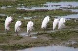 亀津海岸のチュウサギたち