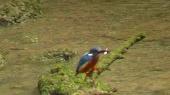 カワセミ(雄)の狩り