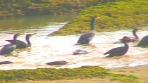 カワウたちの追い込み漁