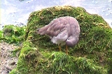 キアシシギの羽づくろい
