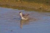 キアシシギの水浴び
