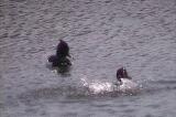 キンクロハジロの水浴び