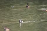 キンクロハジロたちの潜水採餌
