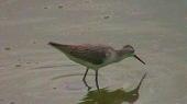 コアオアシシギ(幼鳥)