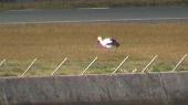 子宝空港のコウノトリ