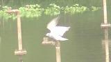 クロハラアジサシ(成鳥夏羽)