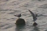 クロハラアジサシの二羽連れ