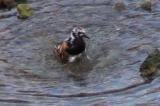 キョウジョシギの水浴び